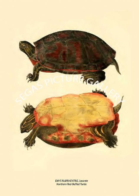 Fine art print of the EMYS RUBRIVENTRIS, Leconte Northern Red-Bellied Turtle by John Edwards Holbrook (1838)